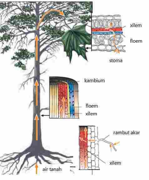 Semipermeabel Adalah : semipermeabel, adalah, Sistem, Tranportasi, Tumbuhan, Chemistry