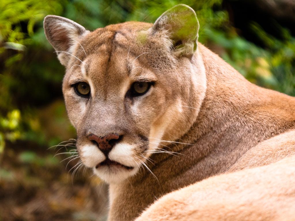 cougars gratuit