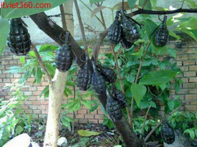 Những hình ảnh hài hước vui nhộn nhất, trái boom trên cây, cây trồng quả lựu đạn