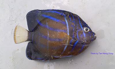 Bluering Angelfish, Pomacanthus annularis, Taring Pelanduk Cincin Biru, Ikan Toshiba, Ikan Babi
