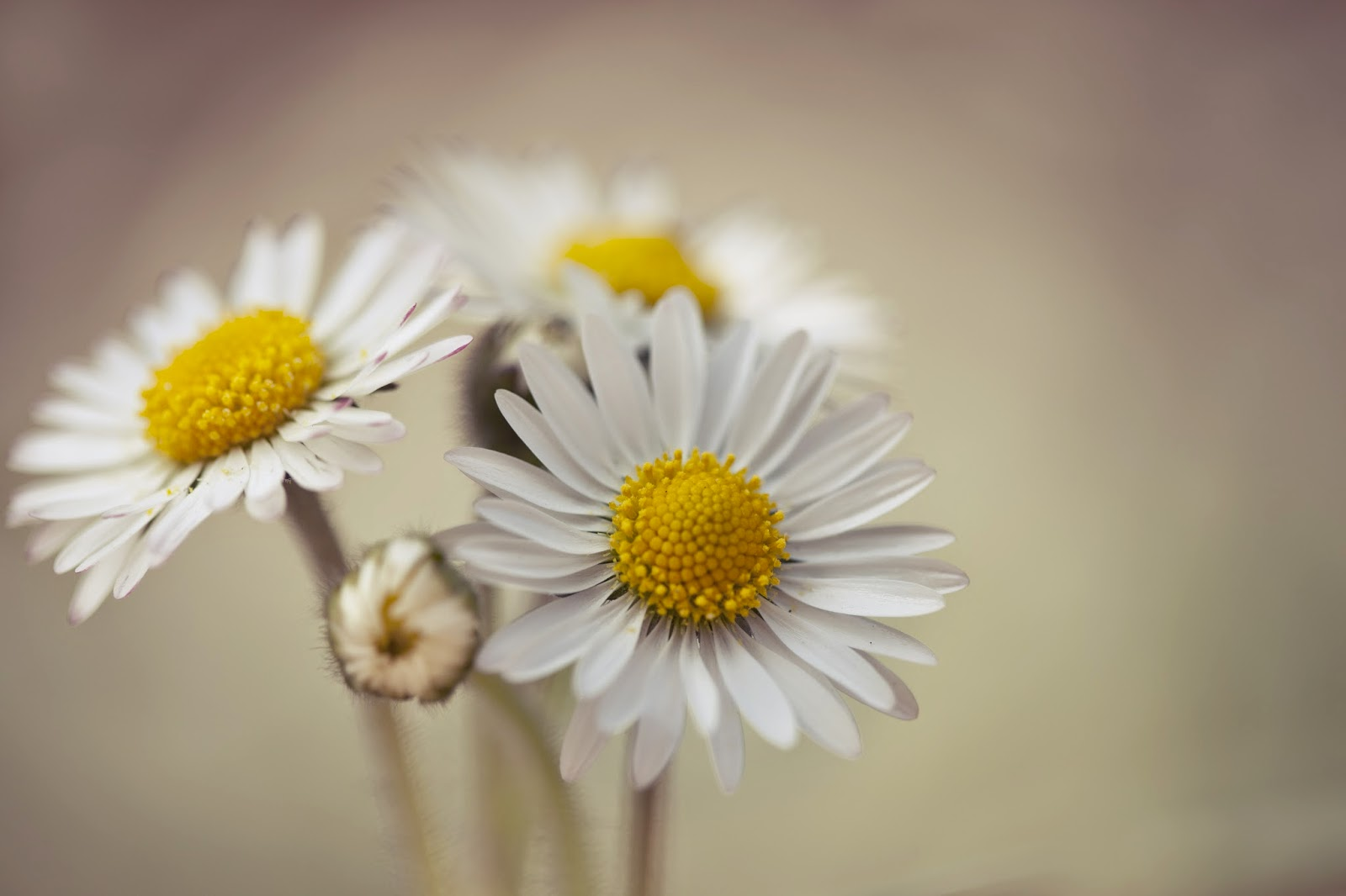 Cute Wallpaper With Quotes Download White Gerbera Daisy Flower Photography Hd Pictures