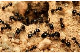 Hikmah Dibalik Larangan Membunuh Semut Dan Keunikan Dalam Koloninya.