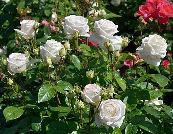 Madame Anisette сорт розы фото