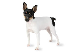 Everything about your Toy Fox Terrier