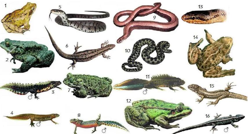 62 Gambar Hewan Amfibi Dan Namanya Gratis
