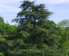 ต้นไม้ขนาดใหญ่สร้างกระเบื้องมุงหลังคา