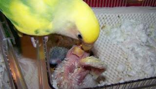 Burung Lovebird - Unsur-Unsur Penting Dalam Pakan Burung Lovebird - Penangkaran Burung Lovebird