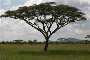 Pohon akasia tanaman peneduh