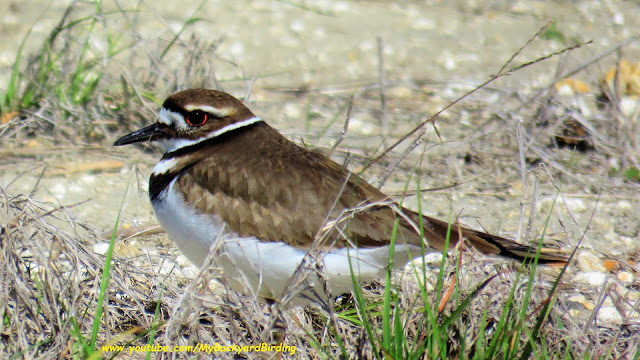 Killdeer Nesting and Calling