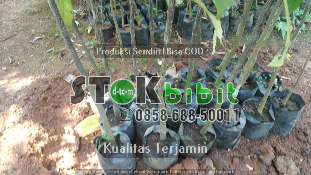 Bibit Anggur Brazil Kualitas Unggul       Lengkap     berkualitas