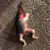 Mayat bayi tanpa kepala dan tangan ditemui
