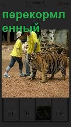 перекормленный тигр еле идет около работников зоопарка