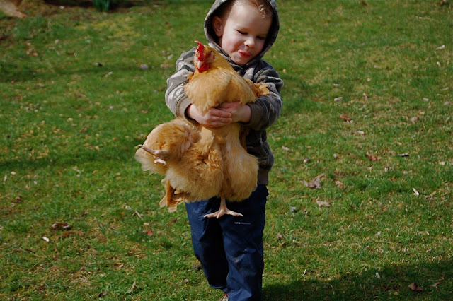 child carrying chicken