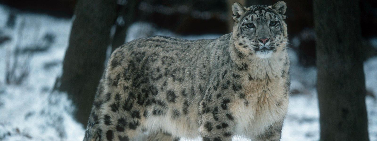 Candice Lanier's Tech News: The Snow Leopard - Photos ...