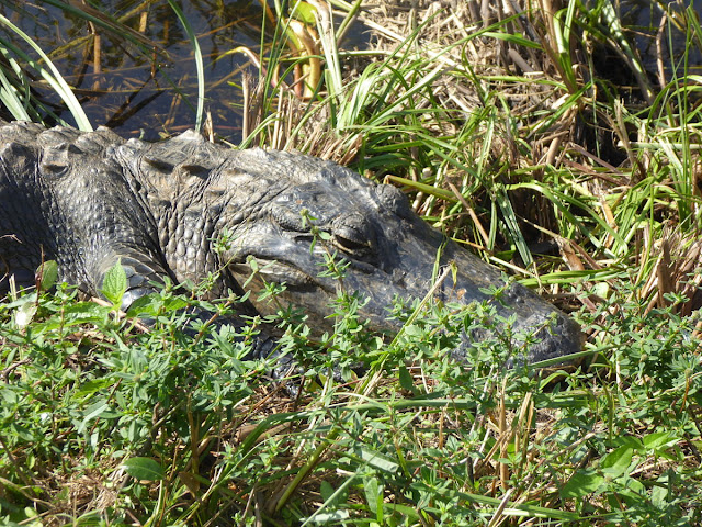 testa di alligatore alle everglades