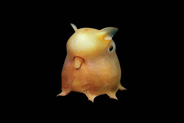 Dumbo Octopus-1
