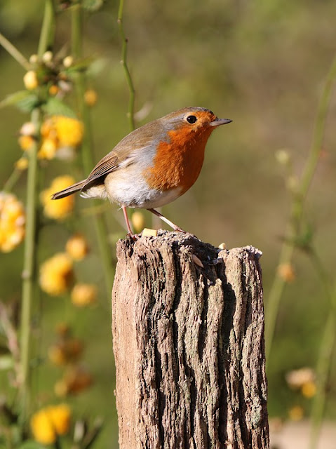 Picture of Britain's National Bird The Robin