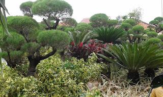 Jual Pohon Bonsai di Cimanggis