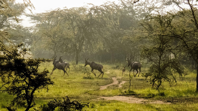herd of topi in Lake Mburo National Park in Uganda