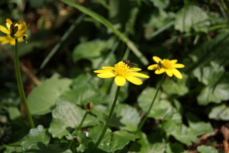 Celidonia menor aprovechando la luz del día. Ranunculus ficaria, Ficaria verna en Asturias. Flora espontánea