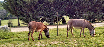 two miniature donkeys wearing fly masks