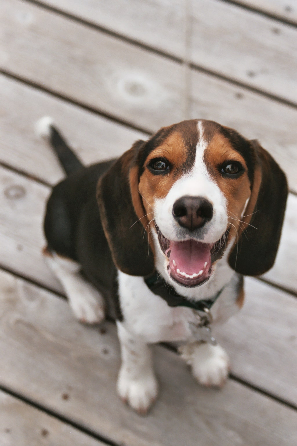 Beagle Puppies Picture...