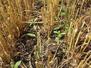 waterhemp-in-wheat-stubble