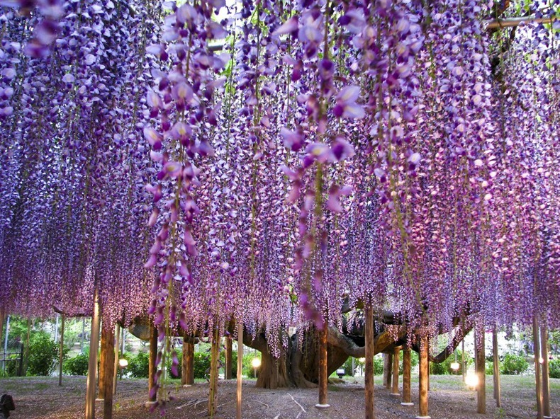 All About Ashikaga Flower Park Japan