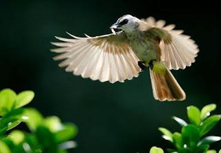 Burung trocok atau Merbah cerukcuk