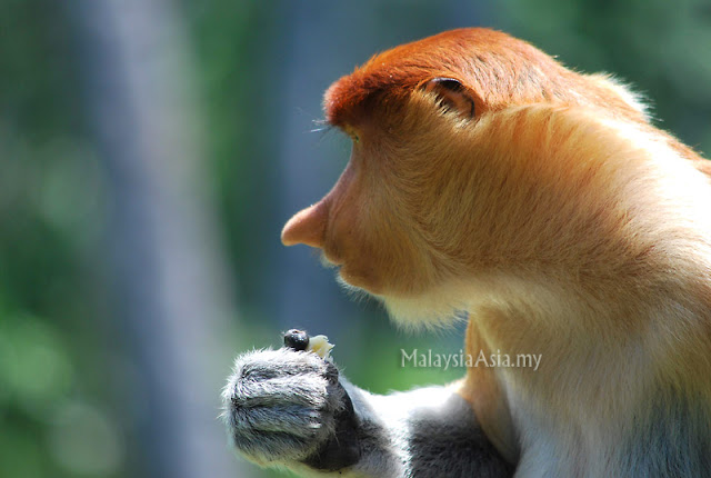 Proboscis Monkey Young