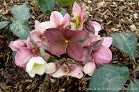 Ciemiernik- Helleborus × ericsmithii 'Winter Moonbeam'