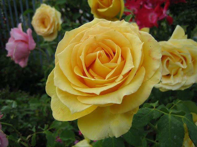 Hoa hồng vàng 5