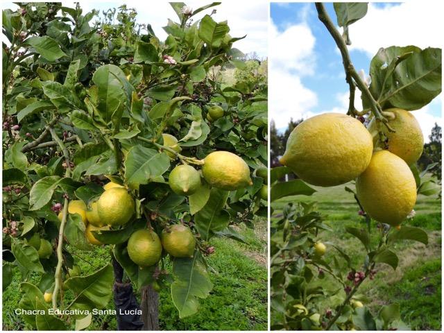 Limones madurando en el limonero - Chacra Educativa Santa Lucía
