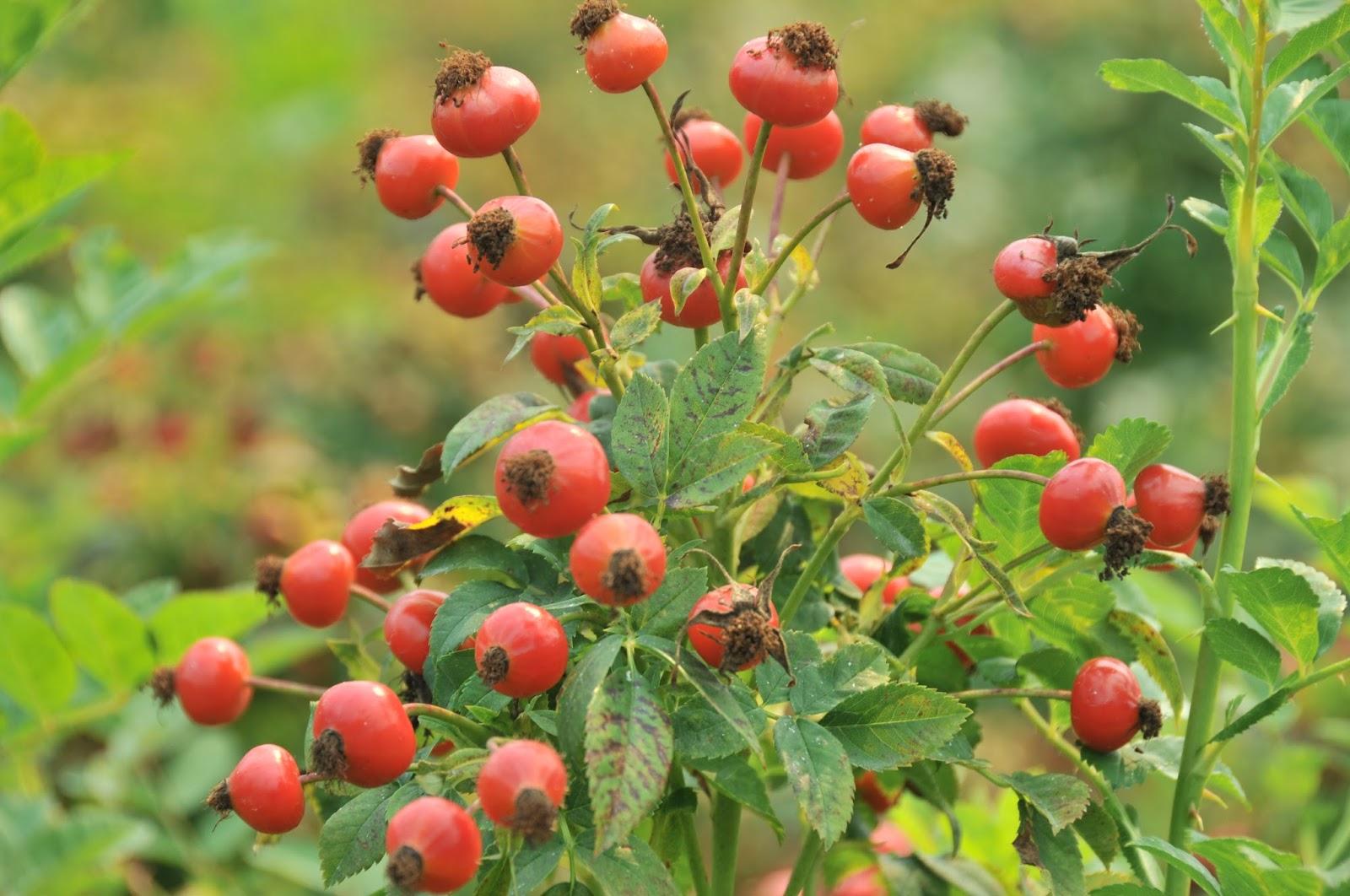 Rosehips Autumns Darling Flower Talk