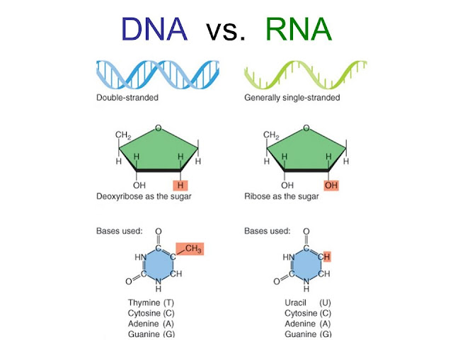 All about DNA and RNA