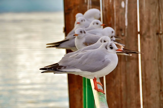 Gulls in Ohrid Lake