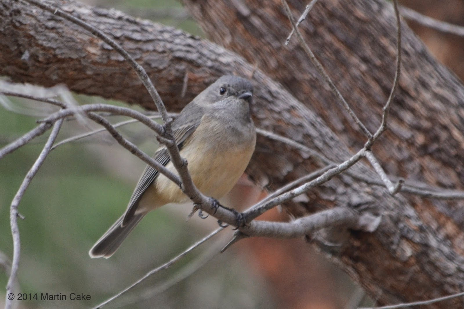 Leeuwin Current Birding New Almost Endemic Species For Wa