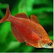 Ikan hias Air Tawar Terindah Glossolepis incisus weber