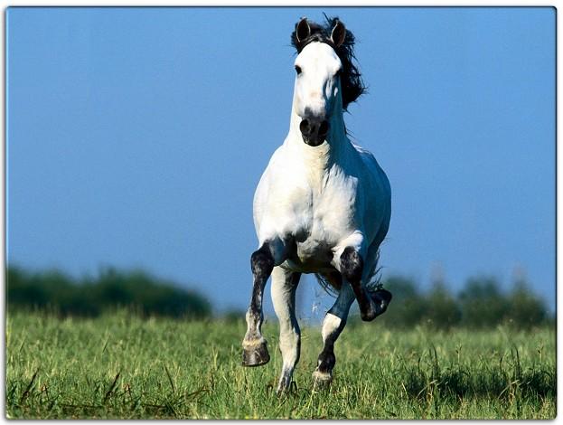 HD Animals Wallpapers: Beautiful White Arabian Horse