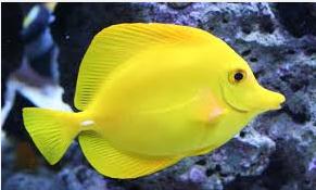 Ikan Hias Air Laut tangs