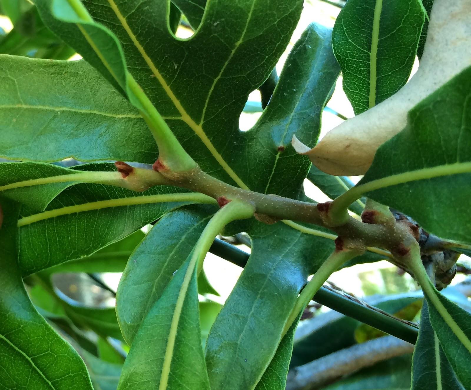 Trees of Santa Cruz County: Stenocarpus sinuatus ...