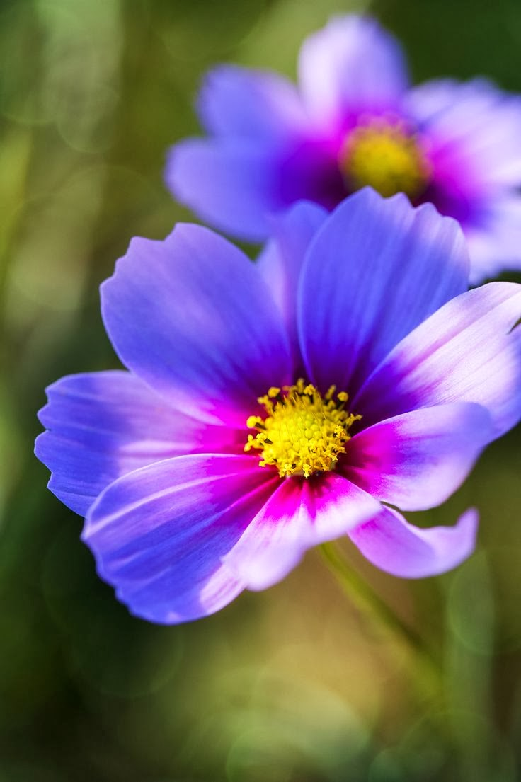 Flower Homes: Cosmos Flowers