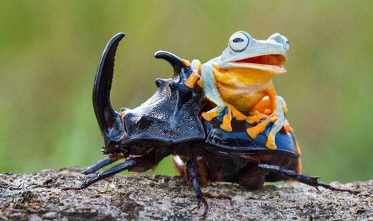 kumbang raksasa
