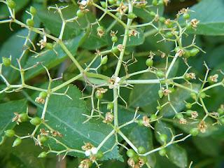 Sureau noir - Sambucus nigra - Grand sureau