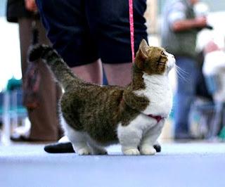 Mengenal Kucing Munchkin