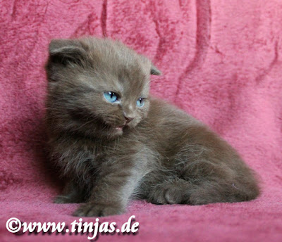 Scottish Fold Kitten in chocolate 5 Wochen 2017 05 20 2