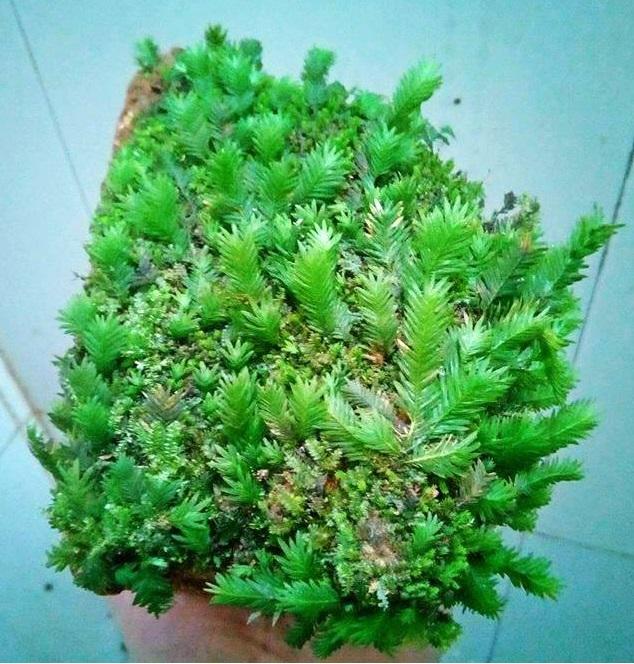 Rêu thủy sinh Phụng Vĩ Đài được khai thác từ thiên nhiên