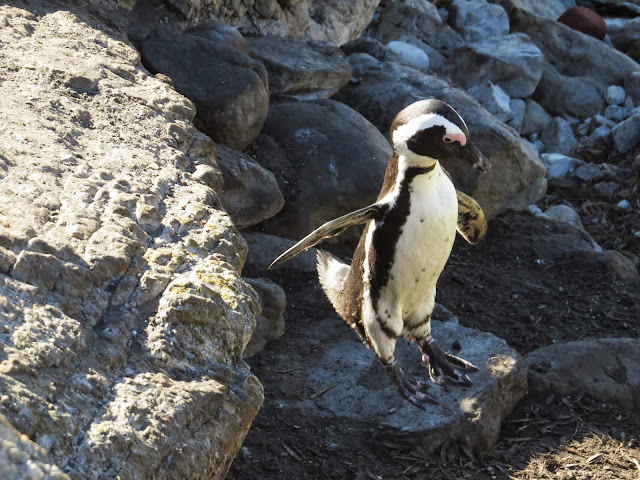 Penguin at Betty's Bay in South Africa