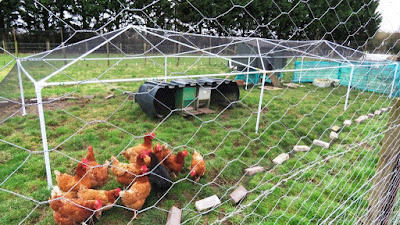 HenSafe Chickens