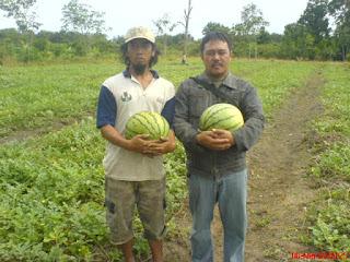 cara mengatasi hama buah semangka